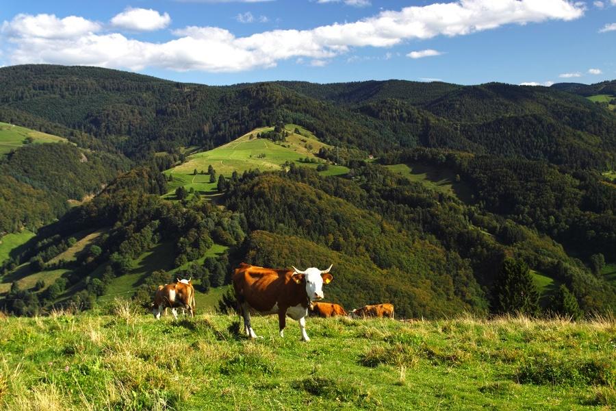Von Münstertal über den Etzenbacher Höhenweg nach Staufen