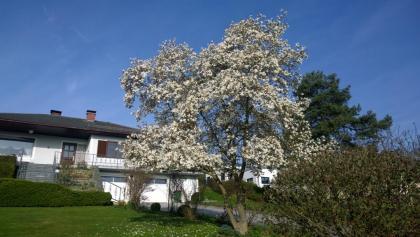 Stegmüller'S Magnolienbaum - prächtig