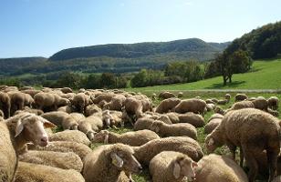 Schafe am Albsteig bei Talheim