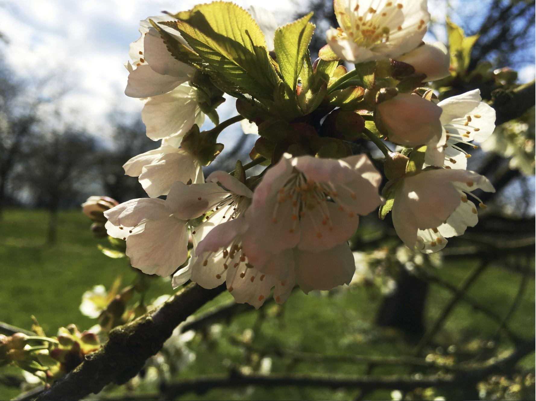 Kirschblüte Renchen-Ulm