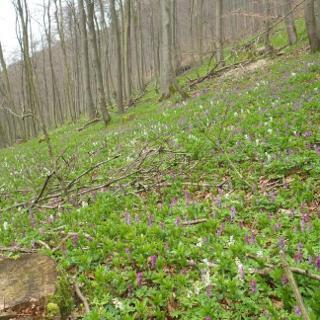 Lerchenspornblüge am 10.4.2016 im oberen Vorteltal