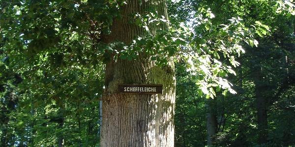 Scheffel-Eiche