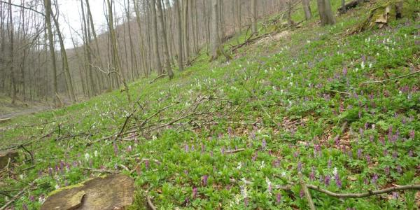 im Vorteltal (Lerchenspornblüte im April)