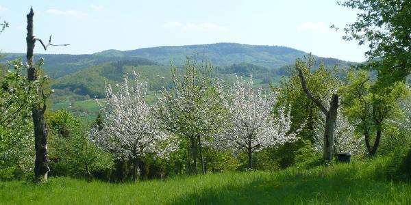Kirschenblüte bei Witzenhausen