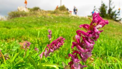 Wunderschöne Alpenflora, hier Hohler Lerchensporn (giftig)