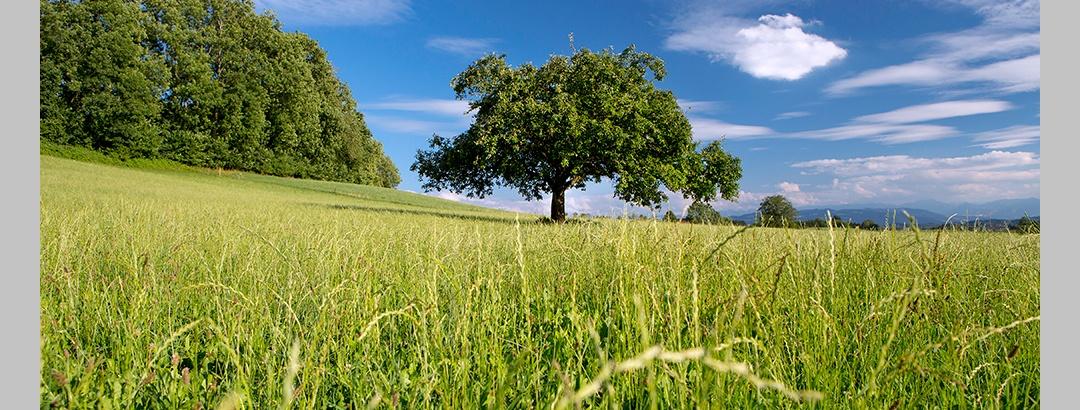 Feld mit Apfelbaum