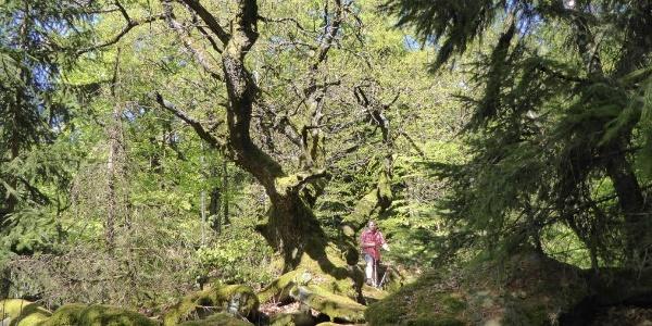 Klasse Baum kurz vorm Jägerkreuz