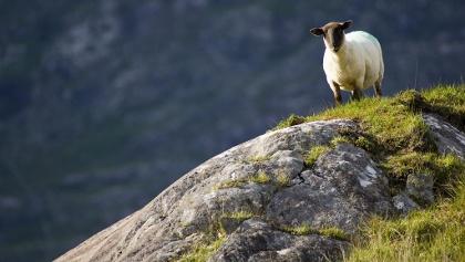 Was wäre Irland ohne seine Schafe? © Tourism Ireland Ltd