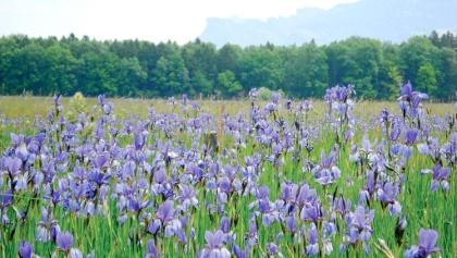 Sibirische Schwertlilien im Unterried