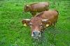 Rinder   - © Quelle: Touristikgemeinschaft Hohenlohe