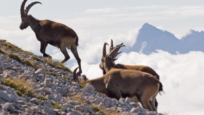 Im Gipfelbereich des Großen und Kleinen Solsteins kann man oft Steinböcke beobachten!