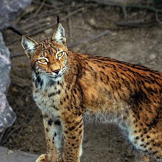 Luchs im Heimat-Tierpark Olderdissen
