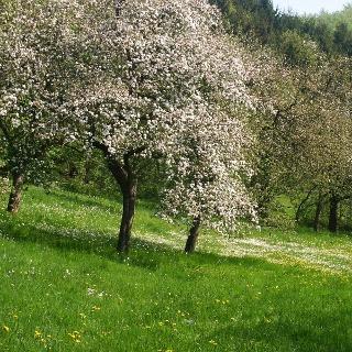 Brakelsiek (Apfelblüte)