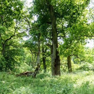 Eichenwald im Tiergarten