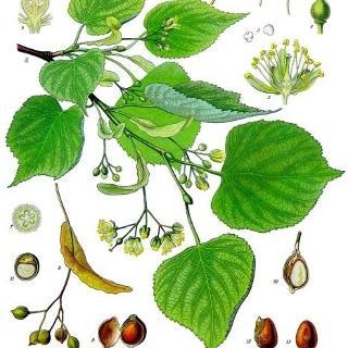 Köhler–s Medizinal Pflanzen 139 :Tilia cordata - Winterlinde