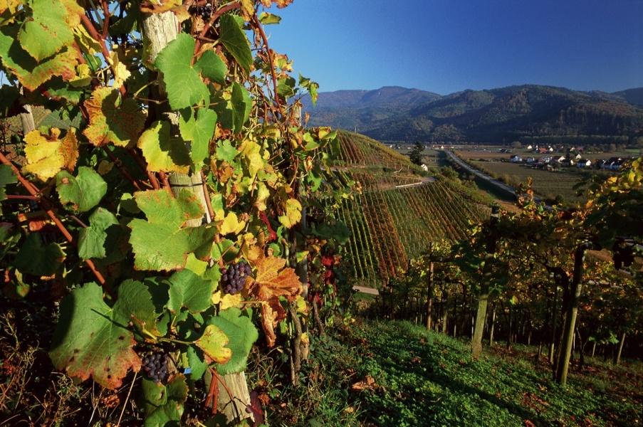 Weinlehrpfad in Buchholz