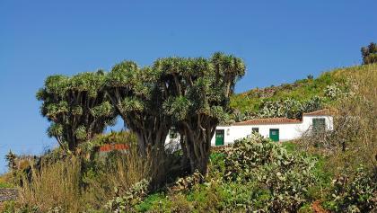 Drachenbäume im Norden der Insel.