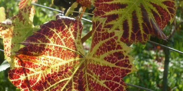 Herbstliches Weinblatt