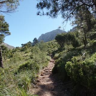 Nach dem Verlassen des Waldes zeigt sich der Puig de Massanella