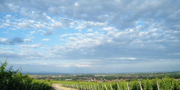 Weinberge bei Deidesheim