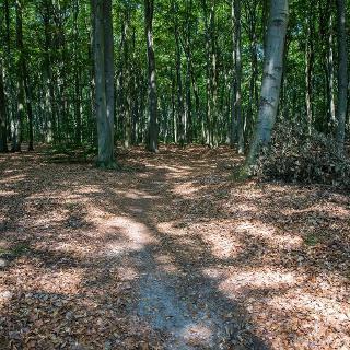 Buchenwald in der Pirschheide