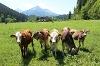 Empfangskomitee beim Kalbelehof - @ Autor: Julian Knacker - © Quelle: Pfronten Tourismus