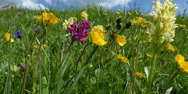 Meadow with flower near Malghette