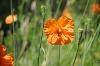Blütenpracht im Alpengarten - @ Autor: Julian Knacker - © Quelle: Pfronten Tourismus