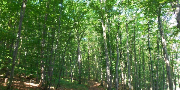 Laubwald im Tautenburger Forst