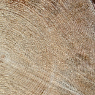 Tree rings, a journey back in time