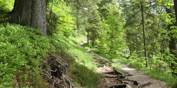Wanderweg durch lichten Bergwald