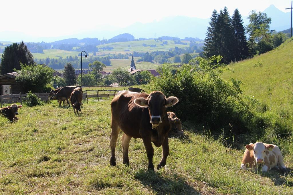 Kühe in Pfronten-Kappel, beim Waldseilgarten - @ Autor: Julian Knacker - © Quelle: Pfronten Tourismus