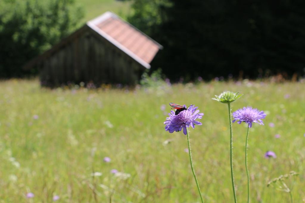 Viel zu entdecken am Bergwiesenpfad - @ Autor: Julian Knacker - © Quelle: Pfronten Tourismus