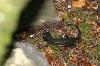 Salamander in der Höllschlucht - @ Autor: Julian Knacker - © Quelle: Pfronten Tourismus