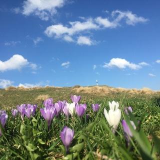 Krokusblüten auf der Salmaser Höhe