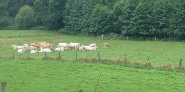 Rinderherde im Naafbachtal