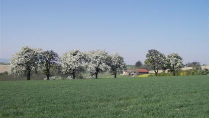 Mostbaumblüte bei Wolfsbach