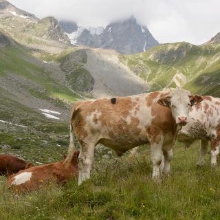 Rinder weiden im weiten ALmgelände
