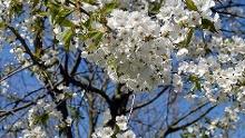 Wandern zur Zeit der Kirschblüte
