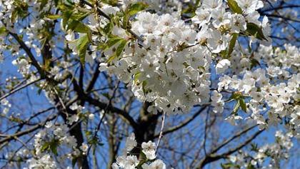 """Wer den richtigen Zeitpunkt im Frühjahr erwischt, kann auf dem """"Kirschblütenweg"""" die Bäume in voller Blütenpracht erleben."""