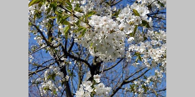 reife Kirschblütenbäume zu verkaufen