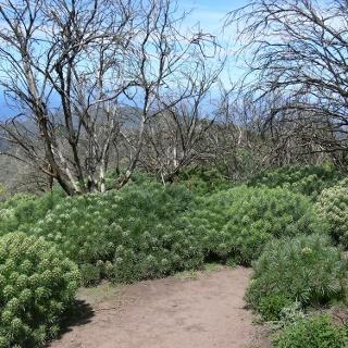 Verbrannte Baumheide und frisches Grün