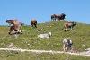 Wanderer und Kühe auf dem Breitenberg - @ Autor: Julian Knacker - © Quelle: Pfronten Tourismus