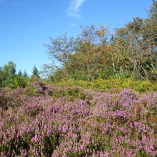 Heideblüte im August auf der Lippischen Velmerstot