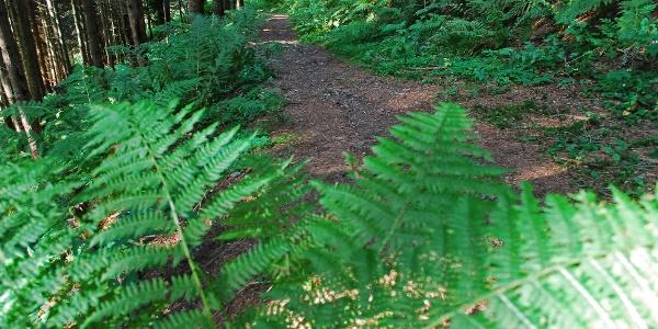 Am Waldweg im Aufstieg zur Achneralm