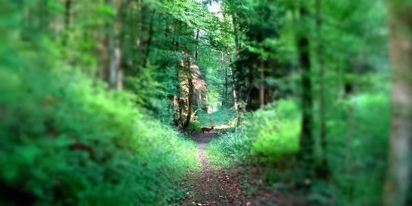 """0600 entlang dem Ostfuss des Tüfels Chäller begrüsst mich ein Reh   47°27'41.2""""N 8°18'15.8""""E"""