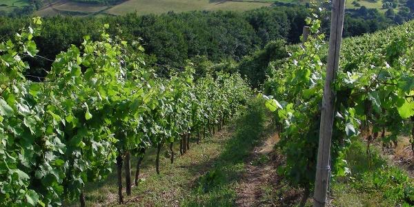 Weinberge finden sich entlang des Pfälzer Höhenweges bei Obermoschel.