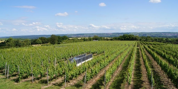Weinreben im Rheingau