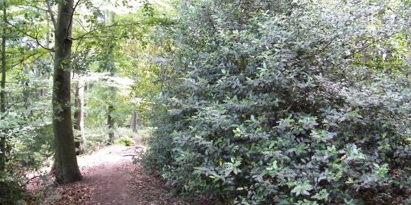 In den klimatisch begünstigten Buchenwäldern am Rhein gedeihen Stechpalmen im Unterwuchs.