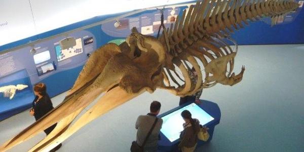 Walskelett in der Ausstellung im Natureum Niederelbe